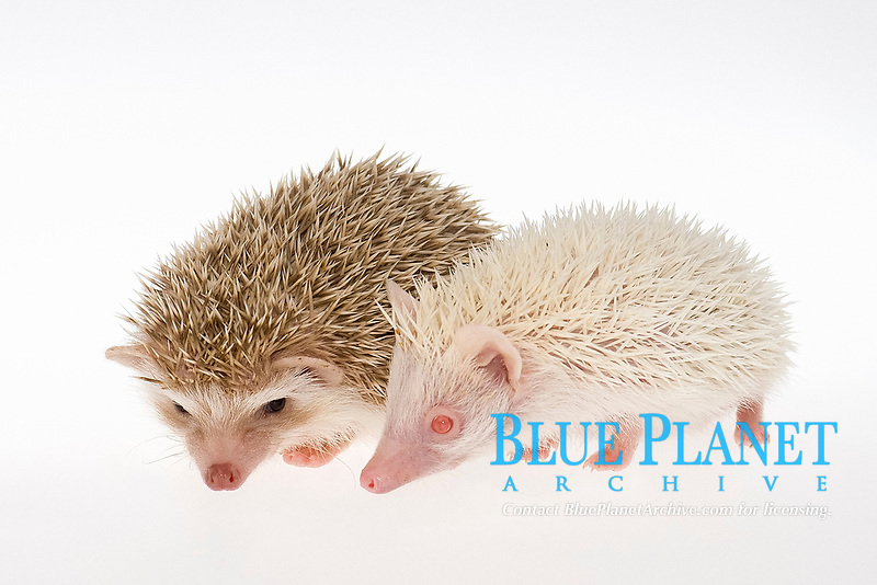 Two Four-toed Hedgehogs or African Pygmy Hedgehogs (Atelerix albiventris), albino on the right