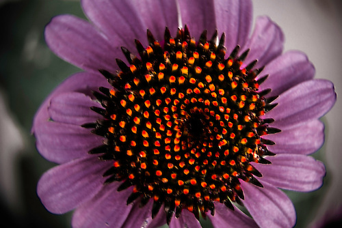 A macro shot of the Purple Coneflower  also known as the Bright Star