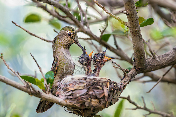 Anna' Hummingbird nest (Calypte anna)--female feeding young chicks.  Arizona.  February-March.
