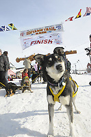 Sled dogs for Hans Gatt rest at Nome finish line, Alaska