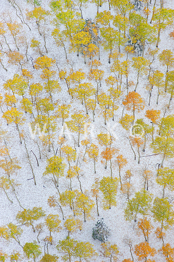 fall snow with changing aspens, Mt. Blanca, Colorado. Oct 2011.  JCW1029a