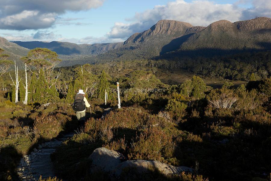 Descente sur Bert Nichols hut. Nombreux pins endémiques kingbilly pine (athrotaxis selaginoides).pencil pine (athrotaxis cupressoides.