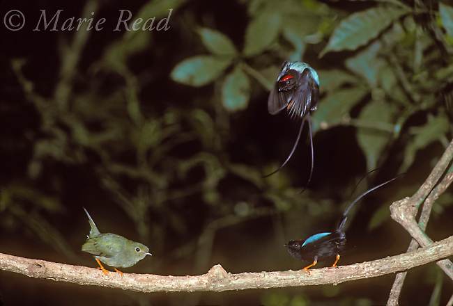 Long-tailed Manakins (Chiroxiphia linearis): 2 males (right) and female (left) during cooperative courtship display, Monteverde, Costa Rica.<br />