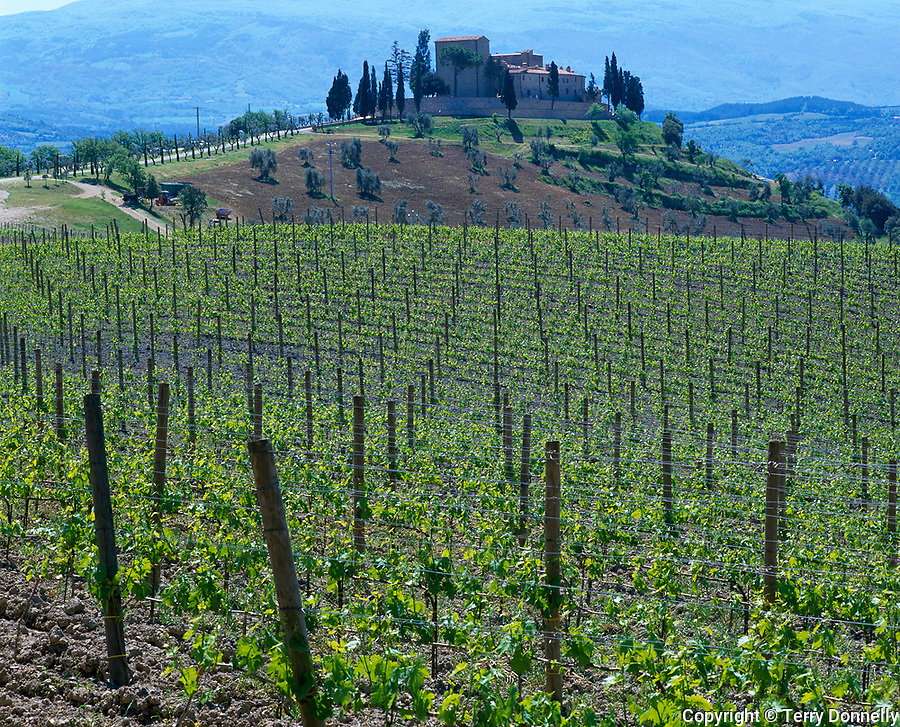 Tuscany, Italy<br /> Vineyard with a road leading to a farm house on a distant hill in southern Tuscany