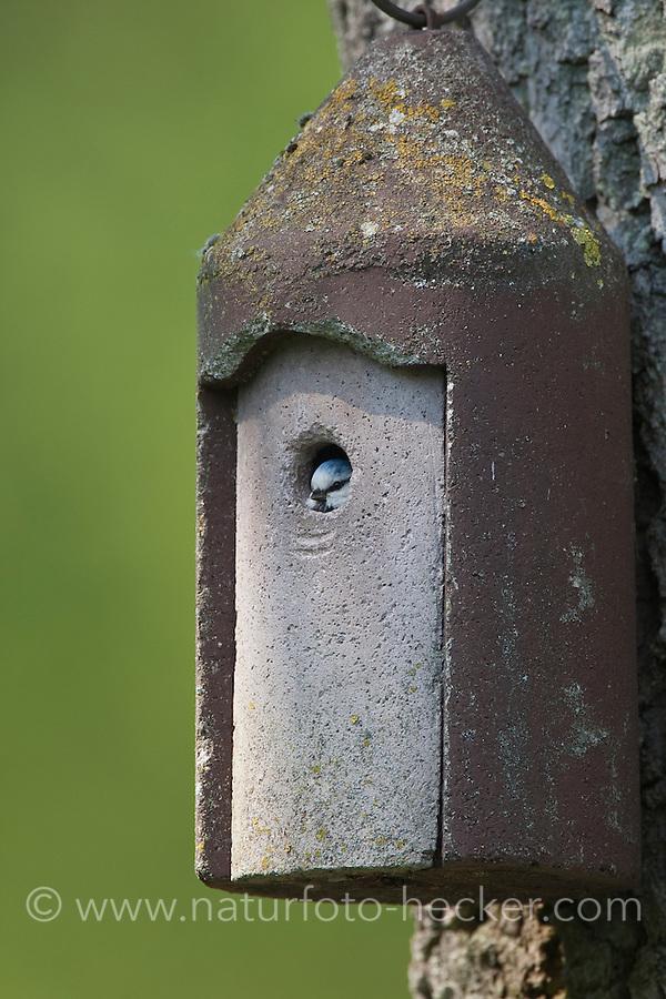 Blaumeise am Nistkasten, guckt aus Flugloch heraus, Meise, Cyanistes caeruleus, Parus caeruleus, Blue Tit, Mésange bleue