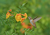 Rufous Hummingbird (Selasphorus rufus), young male on blooming Yellow bells (Tecoma stans) ,Hill Country, Texas, USA