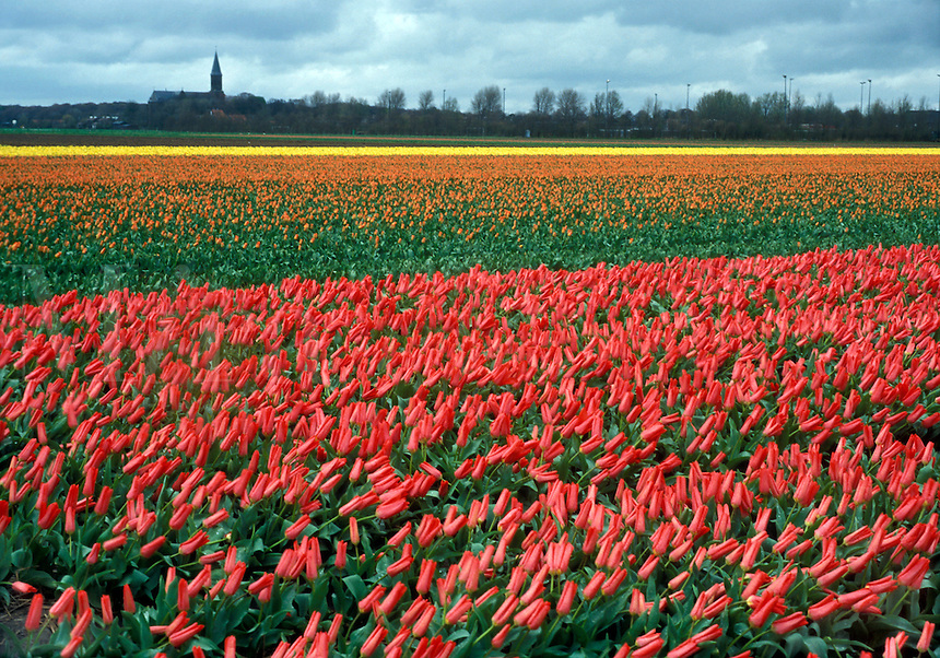 Tulip fields with village church in background in Holland
