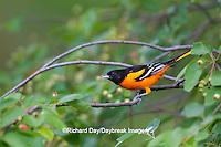 01611-08717 Baltimore Oriole (Icterus galbula) male in Serviceberry Bush (Amelanchier canadensis) Marion Co., IL