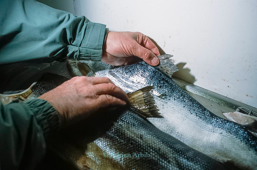 A wild salmon (bottom) against a farmed fish (top). The farmed  variety has damaged fins and  a bright silver  finish.  The wild  variety is much darker and in better condition generally.