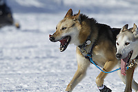 Bruce Linton Lead dog in Willow, Alaska duirng the re-start of the 2011 Iditarod.