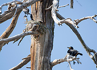 Double-crested Cormorants, Phalacrocorax auritus, nesting in a dead tree on the shore of Hyatt Lake, Oregon