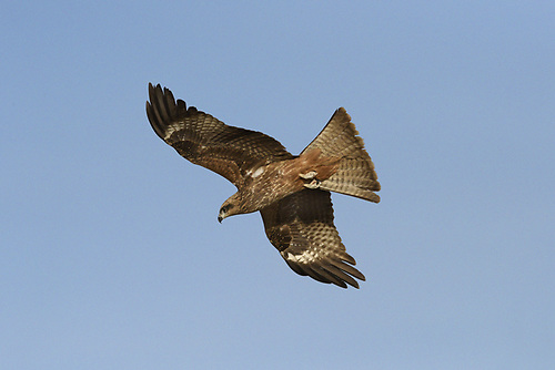 Black Kite - Milvus migrans