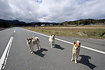 Abandoned pet dogs roam the streets and fields  in search of food in Naruha, a town that lies within the evacuation zone around the leaking No. 1 nuclear power plant in  Fukushima Prefecture, Japan on Wednesday 20 April  2011. As of April 21, Japan has made it illegal to enter the 20 km (12 mile) zone..Photographer: Robert Gilhooly