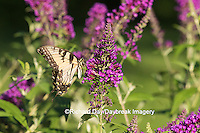 03023-02909 Eastern Tiger Swallowtail Butterfly (Papilio glaucus) on Butterfly Bush (Buddleia davidii), Marion Co., IL