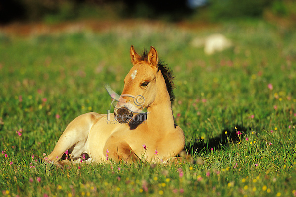 Young Wild Horse colt resting in meadow.  Western U.S., summer..(Equus caballus)