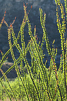 Ocotillo, Fouquieria splendens. Near Pena Blanca Lake, Coronado National Forest, Arizona