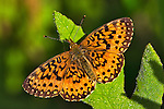 A pristine Silver-bordered Fritillary warms itself on a dewy fern.