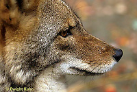 MA27-024z  Eastern Coyote - Canis latrans
