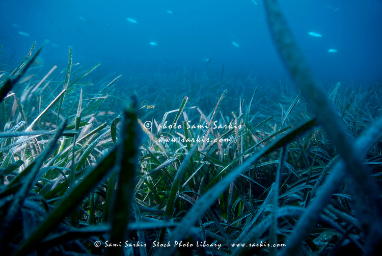School of fish swimming above Neptune Grass (Posidonia oceanica herbarium), Sormiou Creek, Marseille, France.