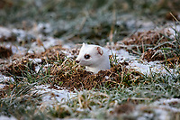 Ermine (Mustela erminea) in its winter coat, peering out of a burrow, Allgaeu, Bavaria, Germany, Europe