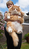 BNPS.co.uk (01202 558833)<br /> Pic: PeterWillows/BNPS<br /> <br /> Feed me...<br /> <br /> Ulric the Viking...Norwegian Forest cat has done a little too much pillaging.<br /> <br /> Jan Mitchell from Dorchester in Dorset was shocked to discover she owns Britains fattest cat. Ulric her prized Norwegian Forest cat topped the scales at a whopping 2 stone 2lbs - over double the weight he should be.<br /> <br /> Embarrased Jan thinks porker Ulric's penchant for pillaging from his sister's bowl has led to him ballooning in size - but she has now put him on a strict excercise routine to trim him down to size.