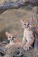 656326141 a pair of captive mountain lion cubs felis concolor stare out from the notch of a large fir tree in central montana united states