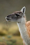 Guanaco (Lama guanicoe) feeding on grass during rainfall, Torres del Paine National Park, Patagonia, Chile