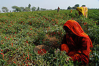 INDIA Madhya Pradesh, spices, farmer harvest red chilies at farm / INDIEN Madhya Pradesh, Gewuerzpflanzen, Bauern bei Ernte von roten Chili Schoten