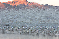 Snow Geese (Chen caerulescens) by the thousands take flight in full blast off after sunrise, leaving Sandhill Cranes (Grus canadensis)  behind