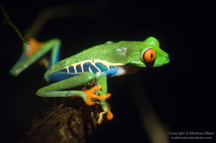 Monteverde, Costa Rica; Red-Eyed Tree Frog (Agalychnis callidryas), also known as the Red-Eyed Leaf Frog and Gaudy Leaf Frog , Copyright © Matthew Meier, matthewmeierphoto.com All Rights Reserved