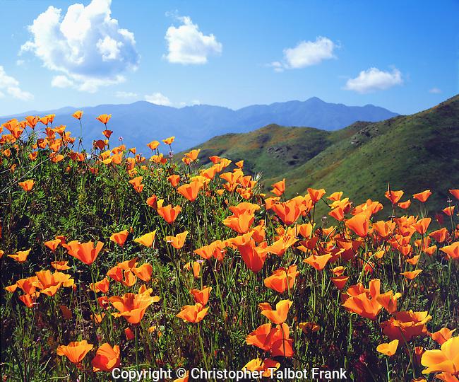 USA, California, Lake Elsinore.   California poppies covering a hillside.