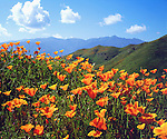 USA, California, Lake Elsinore.   California poppies covering a hillside.
