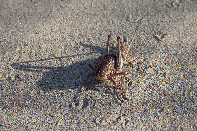 Hanford Reach National Monument, White Bluffs, Wahluke Slope, Mormon cricket, Anabrus simplex, grassland, Columbia Basin, eastern Washington, Washington State, Pacific Northwest, USA, North America,