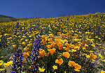 California poppies and lupine in Gorman