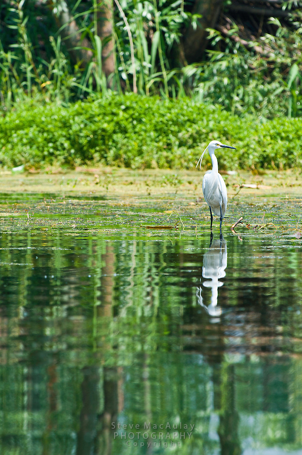 White egret, Dal Lake, Srinagar, Kashmir, India.