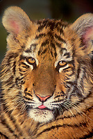 683990002 portrait of a bengal tiger cub panthera tigris at a wildlife rescue facility species is endangered in the wild and native to the indian subcontinent