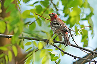 Grosbeak - Pine