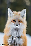 Red fox in winter. John D. Rockefeller Memorial Parkway, Wyoming.