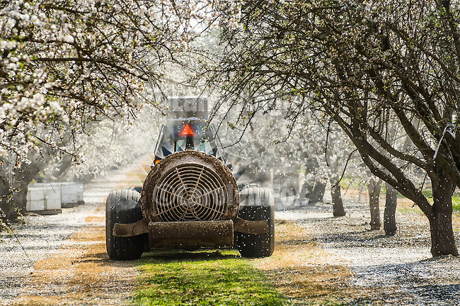 Fan ground spraying of the almond blossoms with fungicide for brown rot in late winter in the Sacramento Valley