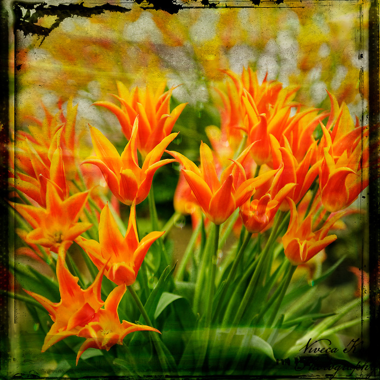 Orange tulips in grungy frame