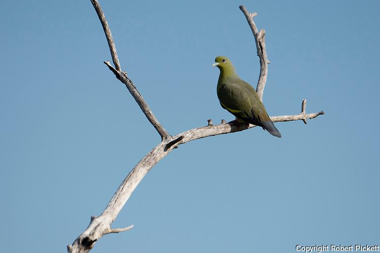 Sri Lanka Green Pigeon, Treron pompadora. perched on branch, Yala National Park, Sri Lanka