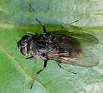 House fly Muscidae