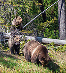 A grizzly bear family walks through a meadow in Yellowstone.