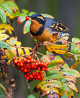 A varied thrush feeds upon the berries of a native mountain ash after moving downslope in response to a snow storm.