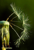 DN06-011a  Dandelion - few seeds remaining on flower - Taraxacum officinale
