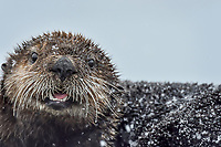 Immature Sea Otter (Enhydra lutris) resting on old boat dock during light snow storm,  Prince William Sound, Alaska.  March.  This sea otter is about a year old.
