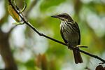 Streaked Flycatcher (Myiodynastes maculatus), Ancon Hill, Panama City, Panama