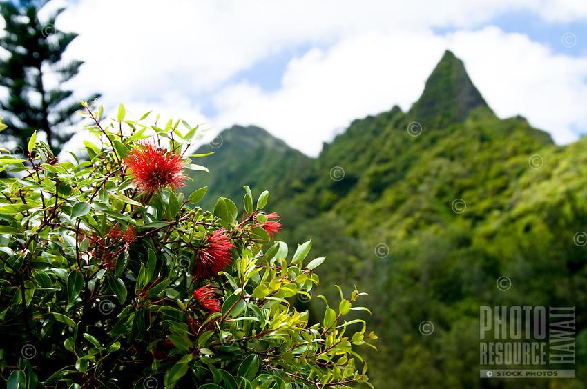 Lehua 'ahihi near the Pali Lookout on O'ahu.