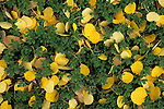 Autumn quaking aspen leaves (Populus tremuloides) laying on forest floor, Pike National Forest, Colorado