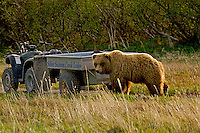 A grizzly bear pauses by the tour wagon while checking out the photographer.